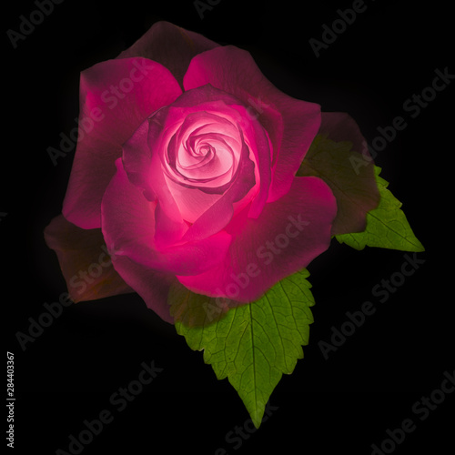 USA, Maryland, Bethesda, Rose on Black, Digitally Altered
