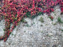 Italy, Tuscany. Red Ivy Climbi...
