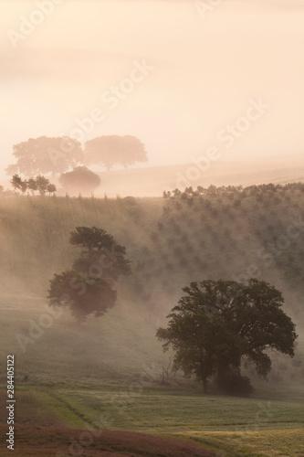 Italy, Tuscany. Fog drifts around vines and olive trees at sunrise.