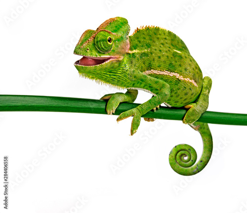 Poster de jardin Cameleon funny cute Chamaeleo calyptratus, female, isolated on a white background