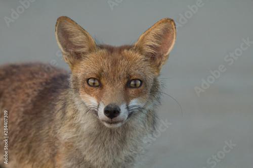ritratto di volpe Canvas Print
