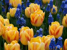 The Netherlands, Lisse, Keukenhof Gardens. Yellow Tulips And Grape Hyacinths.