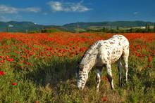 White Foal In A Poppy Field On...