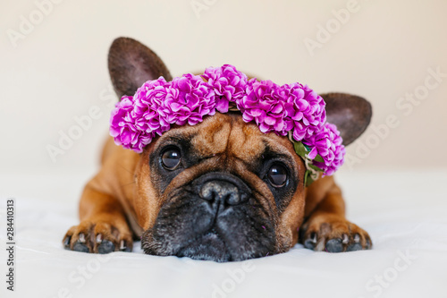 Staande foto Franse bulldog cute brown french bulldog lying on bed at home. Wearing a beautiful purple wreath of flowers. Pets indoors and lifestyle
