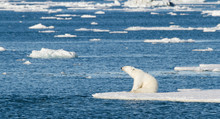 Norway, Svalbard. Polar Bear S...