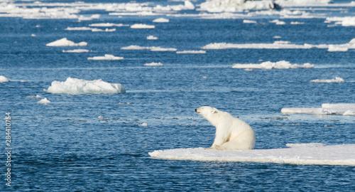 Recess Fitting Polar bear Norway, Svalbard. Polar bear sitting in the sunshine on edge of sea ice.