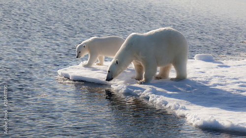 Recess Fitting Polar bear Svalbard. Mother and child Polar Bears.