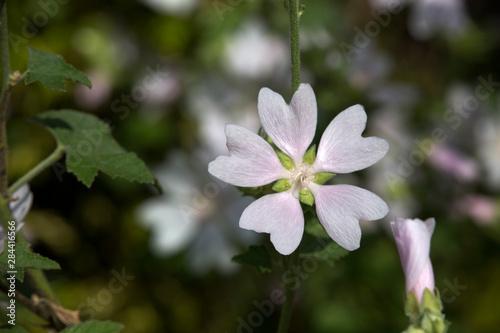 blass rosa Malve (Malva spec.) im Blumenbeet Fototapeta