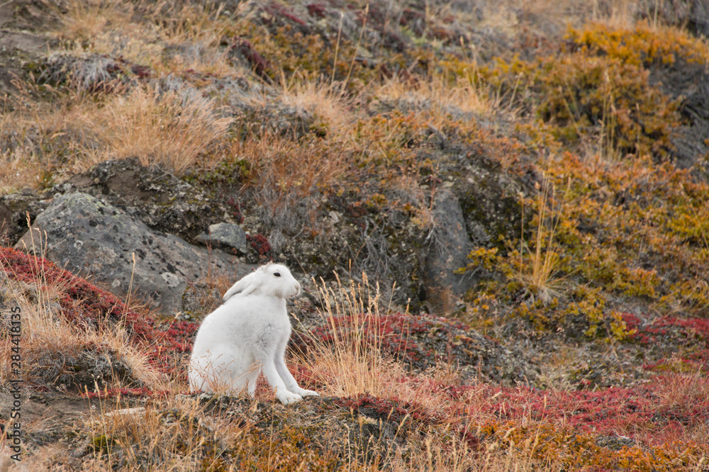 Greenland, Qeqqata, Kangerlussuaq (Big Fjord) aka Sondrestrom. Arctic hare (Lepus arcticus), aka polar rabbit in fall colored tundra habitat.