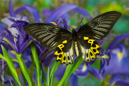 Photo Rippon's Birdwing Butterfly, Female, Troides hypolitus