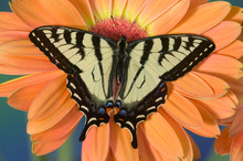 Male Canadian Tiger Swallowtail Butterfly, Papilio Canadensis