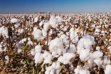 Cotton Plant, Gossypium Hirsut...