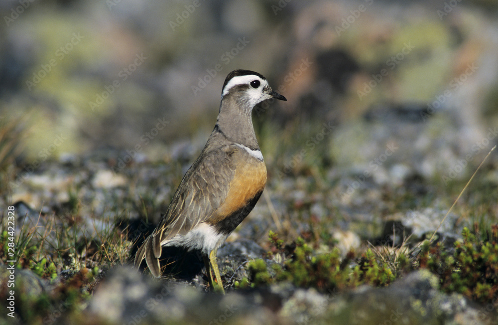 Eurasian Dotterel, Charadrius morinellus,female, Gednjehogda, Norway, June