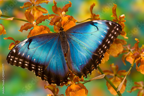 Tropical Butterfly the Blue Morpho, Morpho peleides, open winged on tropical orc Tablou Canvas