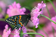 Black Swallowtail Butterfly, P...