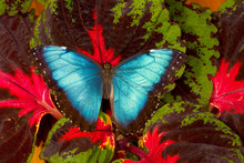 Tropical Butterfly The Blue Morpho, Morpho Peleides, Open Winged On Coleus Plant