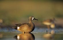 Blue-winged Teal, Anas Discors...