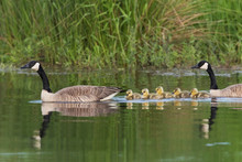 Canada Geese With Newly Hatched Goslings