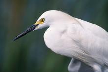Snowy Egret, Egretta Thula,adult, Lake Corpus Christi, Texas, USA, May