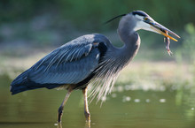 Great Blue Heron, Ardea Herodias,adult In Pond With Catfish, Starr County, Rio Grande Valley, Texas, USA, May