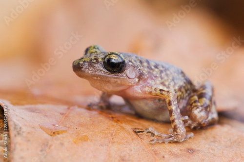 Cliff Chirping Frog, Eleutherodactylus marnockii, adult on leaf litter, Uvalde C Canvas Print