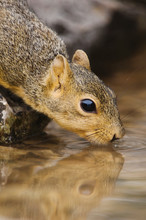 Eastern Fox Squirrel, Sciurus Niger, Adult Drinking From Spring Fed Pond, Uvalde County, Hill Country, Texas, USA, April
