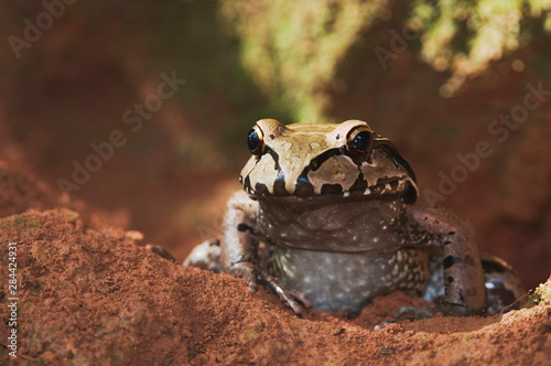Smoky Jungle Frog, Leptodactylus pentadactylus, adult in front of burrow, Manuel Canvas Print