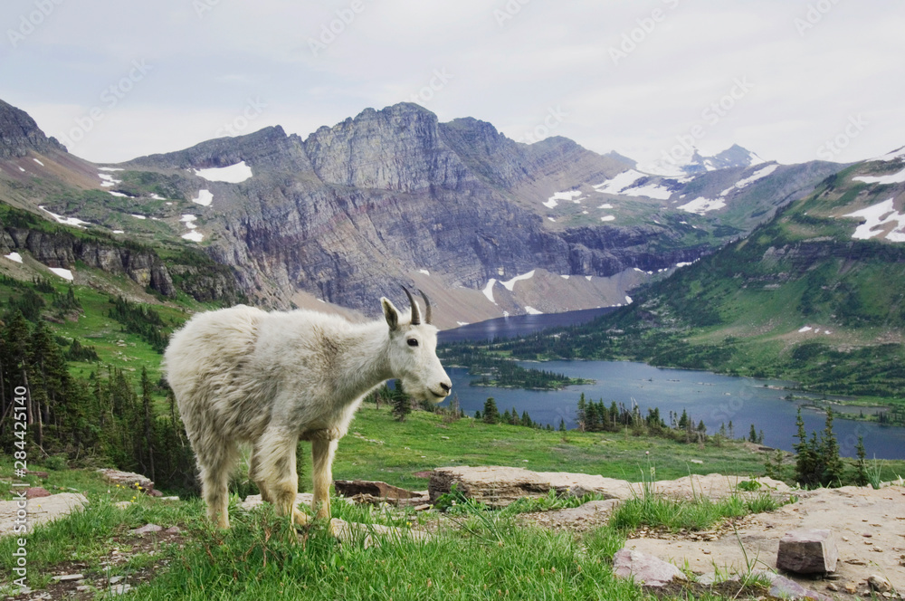 Mountain Goat,Oreamnos americanus, Juvenile shedding winter coat over Hidden Lake,Glacier National Park, Montana, USA, July