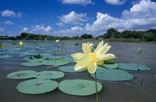 American Lotus (Nelumbo Lutea), Blooming, Welder Wildlife Refuge, Rockport, Texas, USA, May