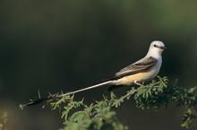 Scissor-tailed Flycatcher, Tyrannus Forficatus,male, Starr County, Rio Grande Valley, Texas, USA, May