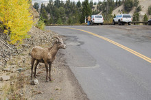 Bighorn Sheep, Mountain Sheep, Ovis Canadensis, Young Male On Road Near Tower Fall, Yellowstone NP,Wyoming, September