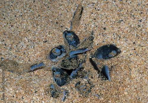Green Sea Turtle Hatchlings emerging (Chelonia mydas) Ascension Island, South At Canvas-taulu