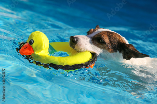 Close up of dog swimming with toy in mouth on a sunny day Billede på lærred