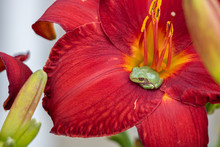 Tree Frog In Daylily