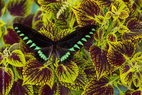 The Palawan Birdwing or Triangle Birdwing Butterfly, Trogonoptera trojana Canvas Print
