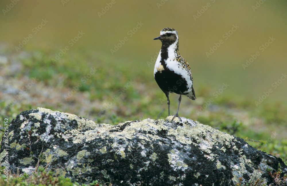 European Golden Plover, Pluvialis apricaria, male, Gednjehogda, Norway, June