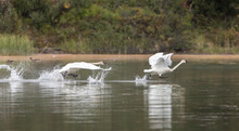 Trumpeter Swan Pair Flying In ...