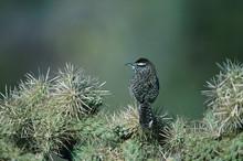 Cactus Wren, Campylorhynchus B...