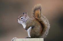 Red Squirrel, Pine Squirrel, Tamiasciurus Hudsonicus, Adult, Homer, Alaska, USA, March