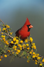 Northern Cardinal, Cardinalis Cardinalis,male On Blooming Huisache (Acacia Farnesiana), Lake Corpus Christi, Texas, USA, April