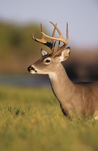 White-tailed Deer, Odocoileus ...