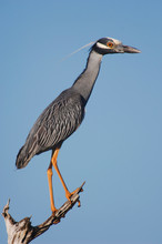Yellow-crowned Night-Heron, Nyctanassa Violacea, Adult Perched, Willacy County, Rio Grande Valley, Texas, USA, June