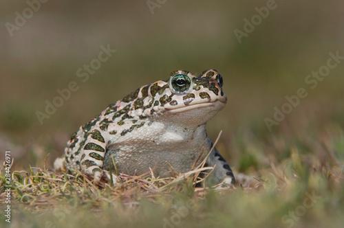 Photo Green Toad, Bufo viridis, National Park Lake Neusiedl, Burgenland, Austria, Apri