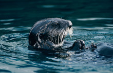 Sea Otter, Enhydra Lutris, Adult Eating Shells, Seward, Alaska, USA, March
