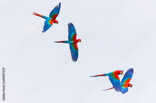 Photo  Brazil, Mato Grosso do Sul, Jardim, A group of red-and-green macaws in flight above the sinkhole