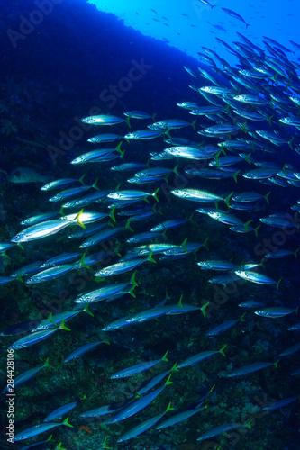 Fotografija  Mackerel Scad (Decapterus macarellus), Blue Corner, Palau, Micronesia, Rock Isla