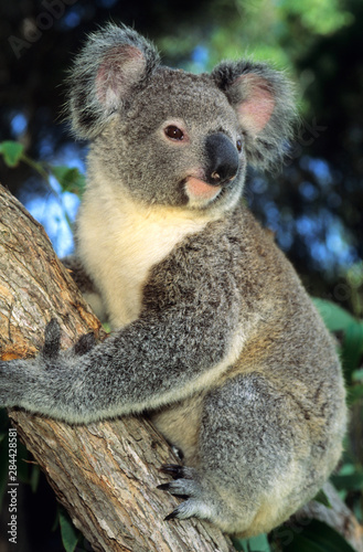 Poster Koala Koala, (Phascolarctos cinereus), Australia, portrait of a koala in an eucalyptus tree.
