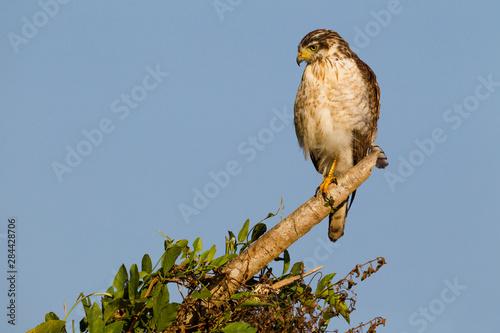 Fotografija  Brazil, Mato Grosso, The Pantanal, roadside hawk (Buteo magnirostris) hawk on a branch