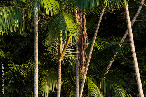 Brazil, Amazon River. Close-up of acai palm. Canvas Print