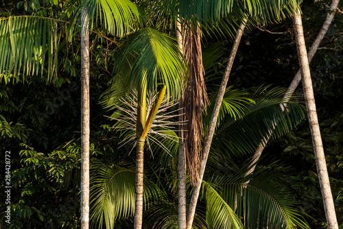 Brazil, Amazon River. Close-up of acai palm. Wallpaper Mural